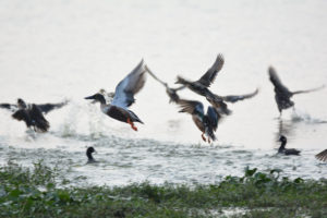 Indian ducks flying in river, ducks, flying ducks in flight, birds, indian birds, birds of india, green, water, free indian stock photos, free indian photos, indian photos, indian stock pictures, india photos, india pictures, india images, indian images, indian photography, free indian photos, free indian pictures, free photos, indian stock photography, free stock photography india, india stock photography, indian images