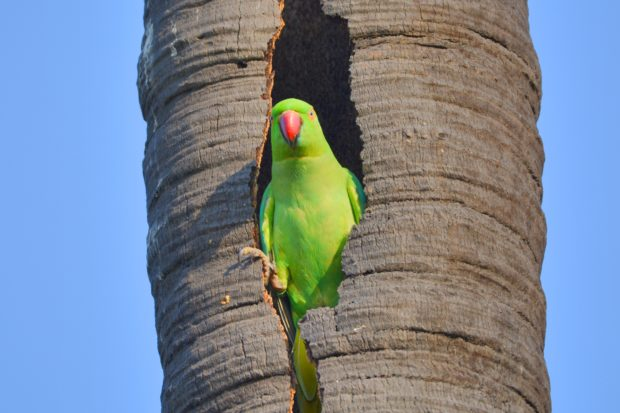 Parrot in tree hole, indian red neck parrot, parrot, indian birds, birds of india, free indian stock photos, free indian photos, indian photos, indian stock pictures, india photos, india pictures, india images, indian images, indian photography, free indian photos, free indian pictures, free photos, indian stock photography, free stock photography india, india stock photography, indian images