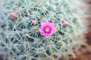 Cactus flower, red flower, cactus, pink flower, free indian stock photos, free indian photos, indian photos, indian stock pictures, india photos, india pictures, india images, indian images, indian photography, free indian photos, free indian pictures, free photos, indian stock photography, free stock photography india, india stock photography, indian images