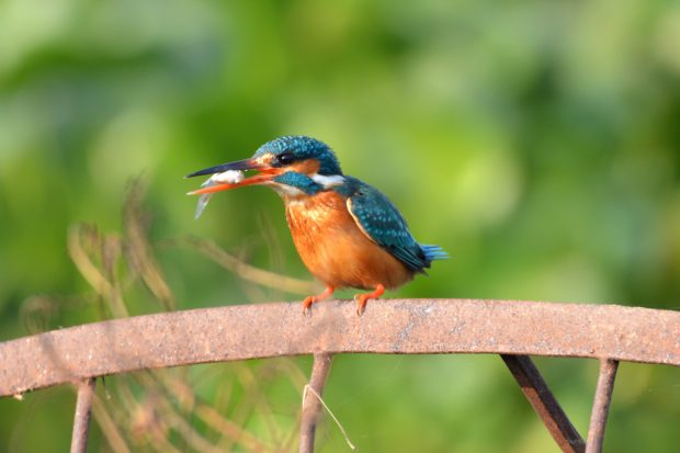 indian king fisher with fish catch, kingfisher, fish, green, indian birds, birds of india, free indian stock photos, free indian photos, indian photos, indian stock pictures, india photos, india pictures, india images, indian images, indian photography, free indian photos, free indian pictures, free photos, indian stock photography, free stock photography india, india stock photography, indian images