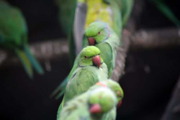 indian red neck parrots, parrot group, indian birds, birds, free indian stock photos, free indian photos, indian photos, indian stock pictures, india photos, india pictures, india images, indian images, indian photography, free indian photos, free indian pictures, free photos, indian stock photography, free stock photography india, india stock photography, indian images