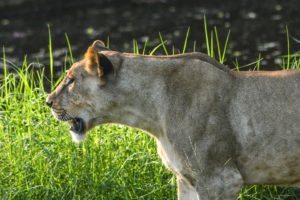 African lioness closeup, lioness, lion, closeup animal, animal zoo, Nehru zoological park,free indian stock photos, free indian photos, indian photos, indian stock pictures,indian travel and stock photos