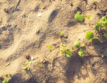sand creeper plants, free indian travel and stock photos