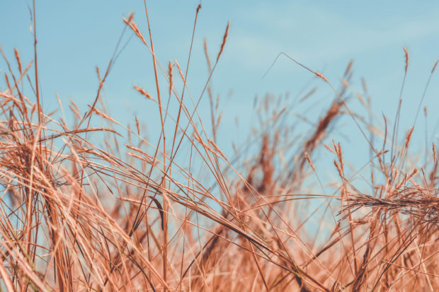 Wild Dry Grass, download free indian stock photos