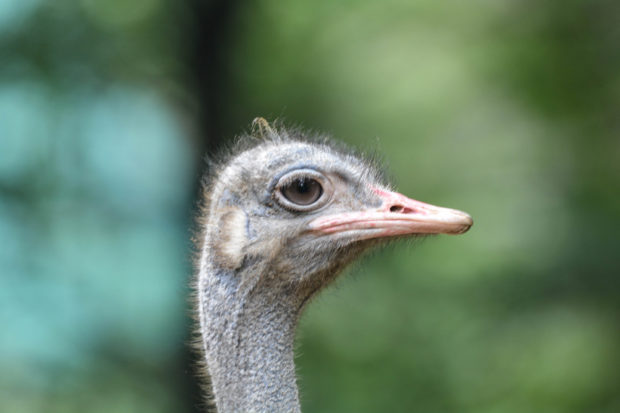 emu bird, nehru zoological park, hyderabad, free indian stock photos
