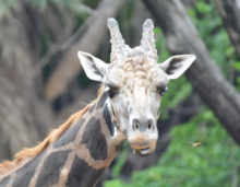 giraffee at zoo, free indian photos