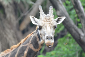 giraffee at zoo, free indian travel and stock photos