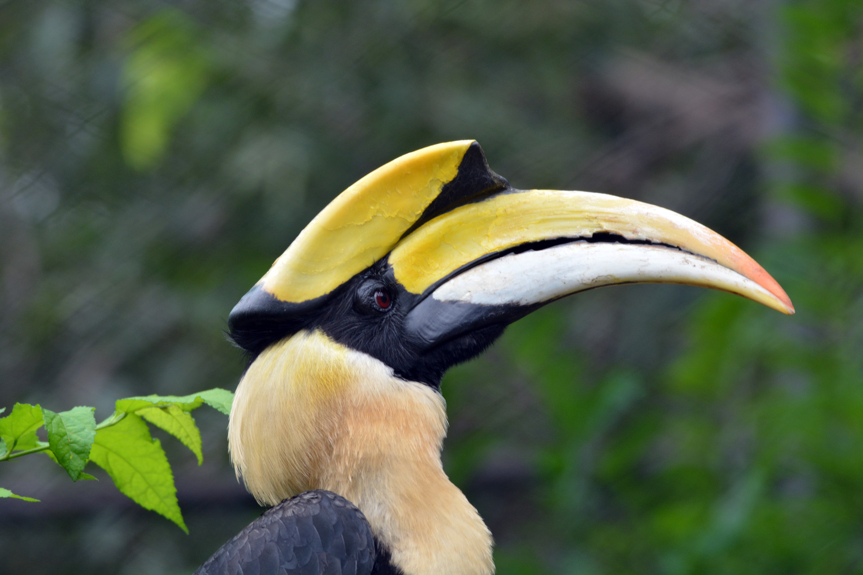 Greater hornbill in wild, indian travel and stock photos