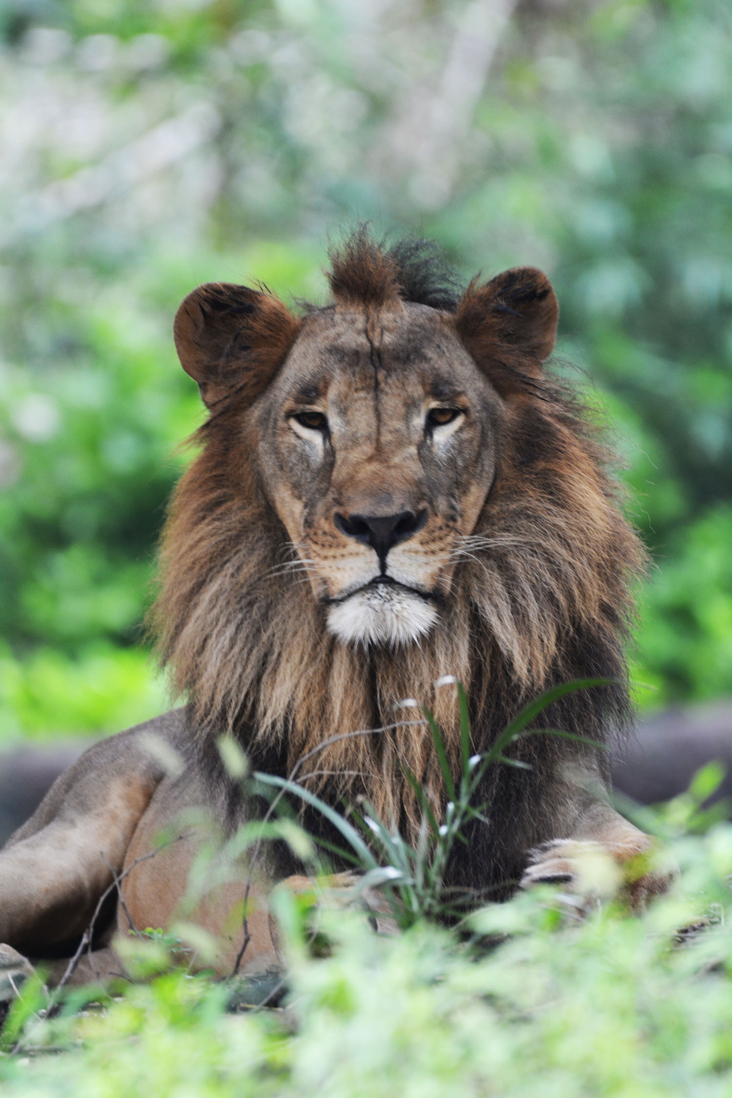 free photo of lion looking into eyes, free indian travel and stock photos