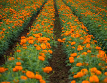 marigold flower fields, karnataka, download free indian stock photos