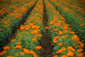 marigold flower fields, karnataka, download free indian travel and stock photos