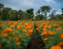 Marigold flowers field, free photos, free indian photos, free indian stock photos, india travel photos, indian images, free indian photos, free indian pictures, indian stock photography, indian travel images