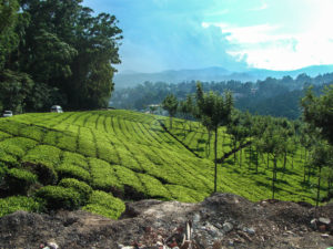 Tea Plantations in Munnar, Kerala, indian travel photos
